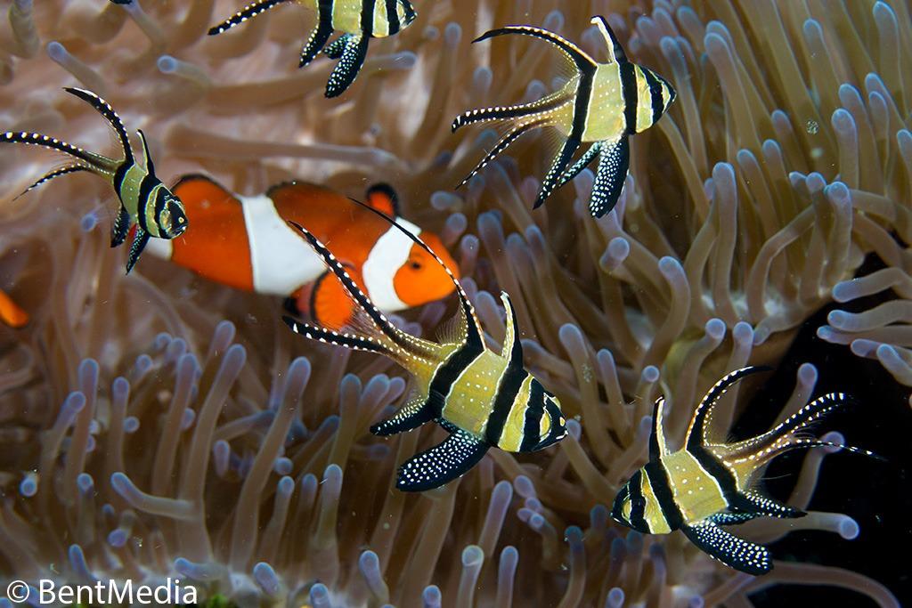 The Banggai Cardinal Fish Lembeh 180 S Newest Fish Part 2